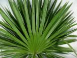 Palmetto Fan / Palm (Florida)