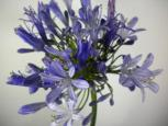 Agapanthus Select Blue