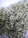 Gypsophilia Million Star