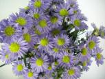 Aster Purple Monarch